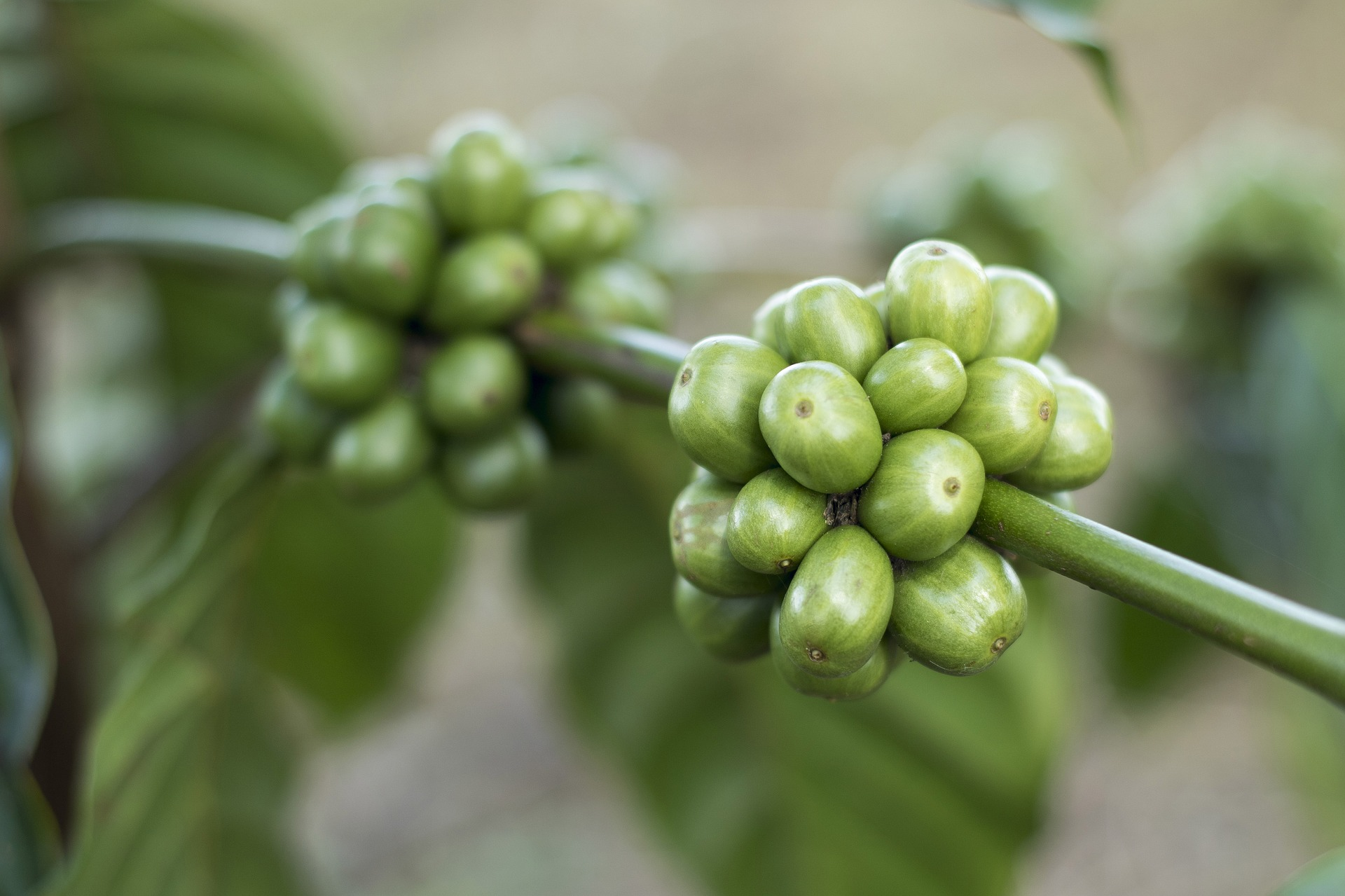 Where Did Green Coffee Bean Extract Come From?